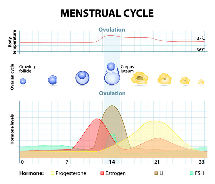 Menstrual cycle chart paid